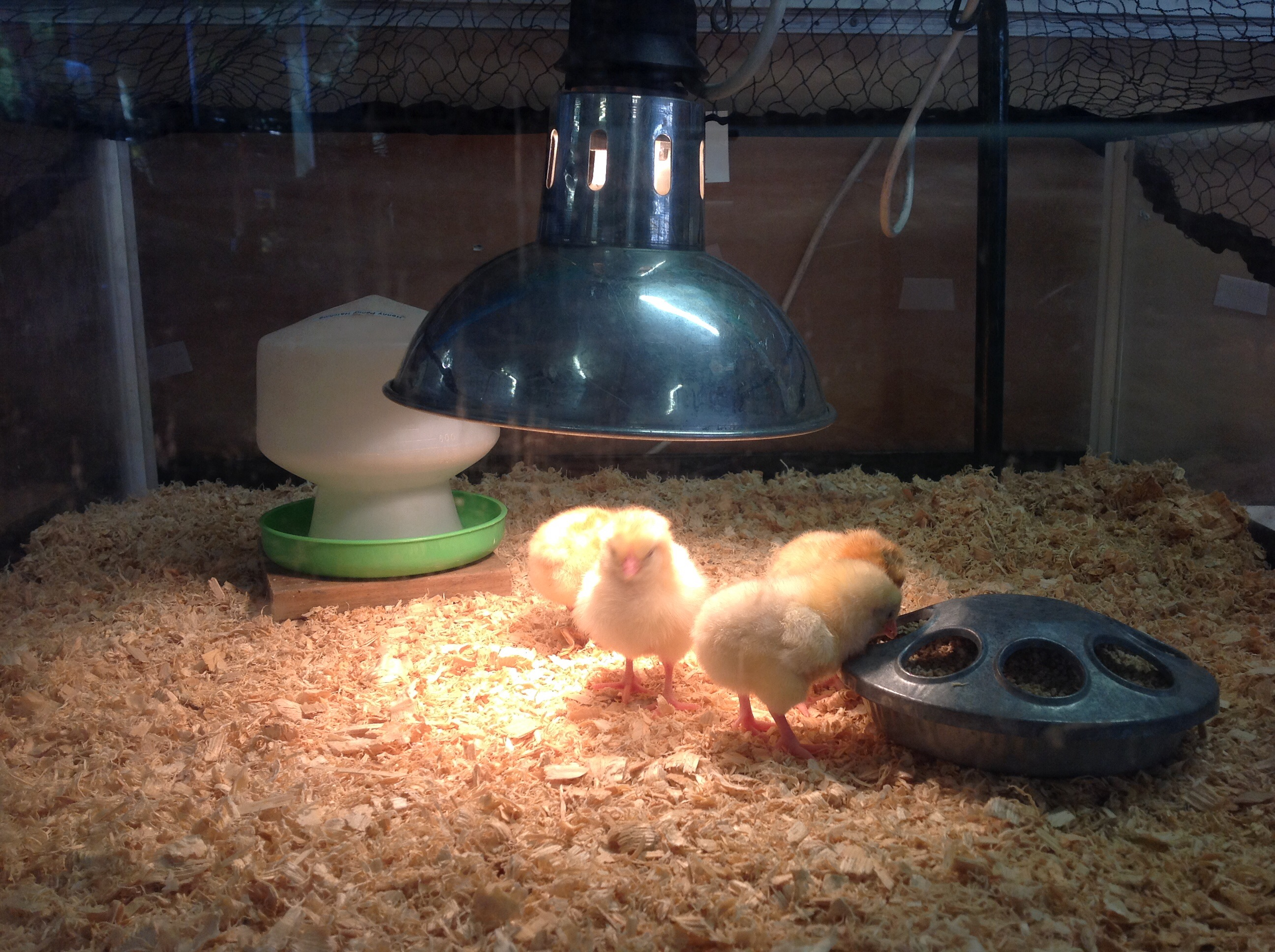 Hello chicks!